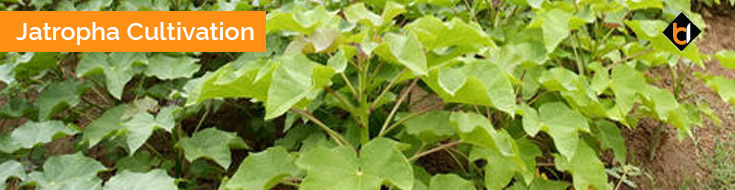 Jatropha Cultivation