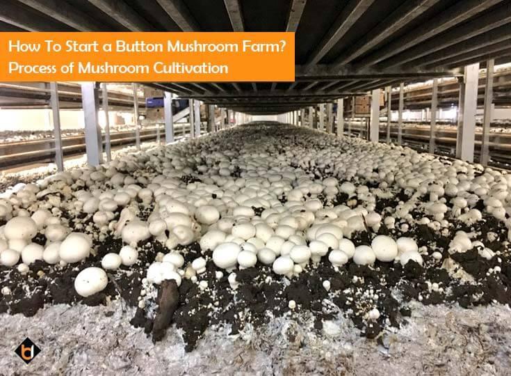 how-to-start-a-button-mushroom-farm-process-of-mushroom-cultivation
