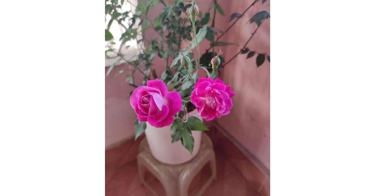 How To Grow Rose plant