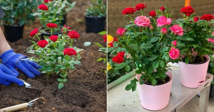 Grow Roses: Grow with these easy methods, colorful roses, your
